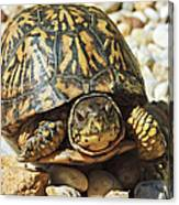 Turtle With Red Eyes On Rocks Canvas Print