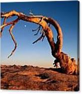 Twilight View Of A Jeffrey Pine Tree Canvas Print