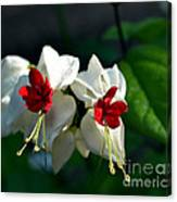 Twin Bleeding Heart Vine Flowers Canvas Print