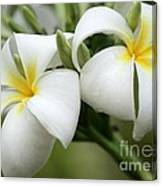 Twin Plumeria Flowers Canvas Print