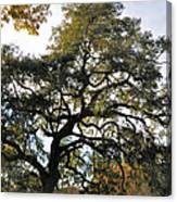 Twisted Oak Canvas Print