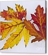 Two Autumn Maple Leaves  Canvas Print