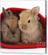Two Baby Lionhead-cross Rabbits Canvas Print