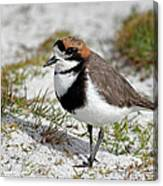 Two-banded Plover Charadrius Canvas Print