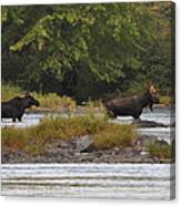 Two Bull Moose In Maine Canvas Print