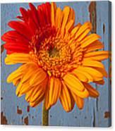 Two Color Gerbera Daisy Canvas Print