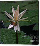 Two Frogs Sharing A Lotus Canvas Print