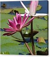 Two Graceful Water Lilies Canvas Print