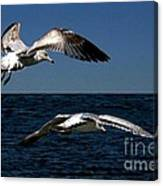 Two Gulls Canvas Print