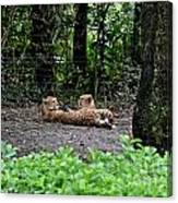 Two Headed Cheetah Canvas Print