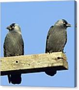Two Jackdaws Canvas Print