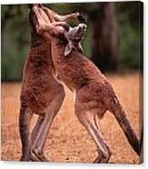 Two Kangaroos Appear To Be Dancing Canvas Print