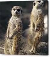 Two Meerkats, Suricata Suricatta, Stand Canvas Print