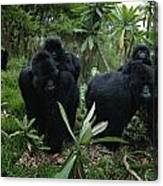 Two Mother Gorillas Carrying Canvas Print
