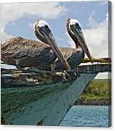 Two Pelicans Pelecanus Occidentalis On Canvas Print