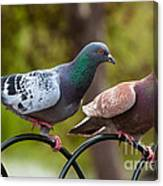 Two Pigeons Canvas Print
