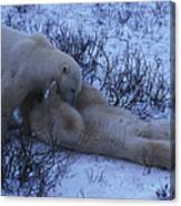 Two Polar Bears Wrestle In The Snow Canvas Print