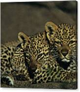 Two Sleepy Four-month-old Leopard Cubs Canvas Print