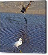 Two Strutting Egrets Canvas Print