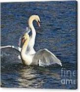 Two Swans Playing Canvas Print