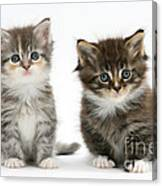 Two Tabby Kittens Canvas Print