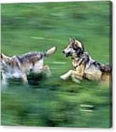 Two Wolves Running Through Meadow Canvas Print