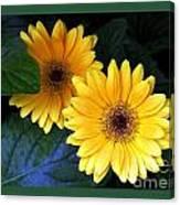 Two Yellow Dahlias Canvas Print