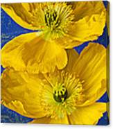 Two Yellow Iceland Poppies Canvas Print