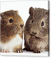 Two Young Guinea Pigs Canvas Print
