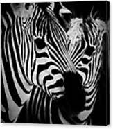 Two Zebras Canvas Print