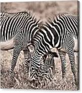 Two Zebras Grazing Together Kenya Canvas Print
