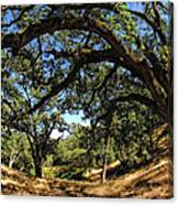 Under The Oak Canopy Canvas Print