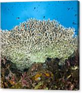 Underside Of A Table Coral, Papua New Canvas Print