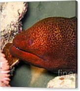 Undulated Moray Eel  Canvas Print