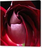 Unfolding Rose Canvas Print
