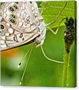 Upclose Moth_1 Canvas Print