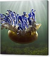 Upside-down Jellyfish Cassiopea Sp Canvas Print