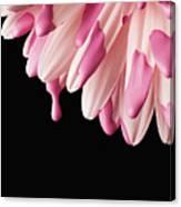 Usa, Utah, Lehi, Close-up Of Pink Daisy Petals Canvas Print