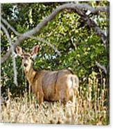 Utah Mule Deer Canvas Print