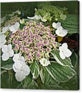 Variegated Lace Cap Hydrangea - Pink And White Canvas Print