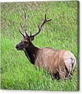 Velvet Bull Elk Canvas Print