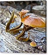 Velvet Foot Mushroom - Flammulina Velutipes Canvas Print