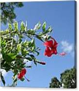 Verigated Leaved Red Hibiscus Canvas Print