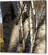 Vermont Birch Canvas Print