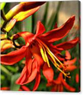 Vibrant Crocosmia Canvas Print