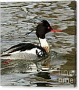 Vibrant Red Breasted Merganser At The Lake Canvas Print