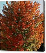 Vibrant Sugar Maple Canvas Print