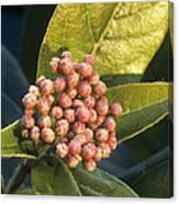 Viburnum Tinus Flower Buds Canvas Print