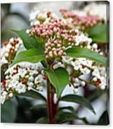 Viburnum Tinus Spring Bouquet Canvas Print