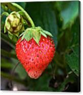 Vine Ripened Strawberry Canvas Print